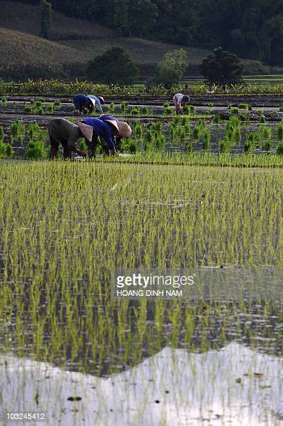 Farmers transplant rice plants in a rice field in the northern mountainous province of Son La on July 25 2010 AFP PHOTO/HOANG DINH Nam