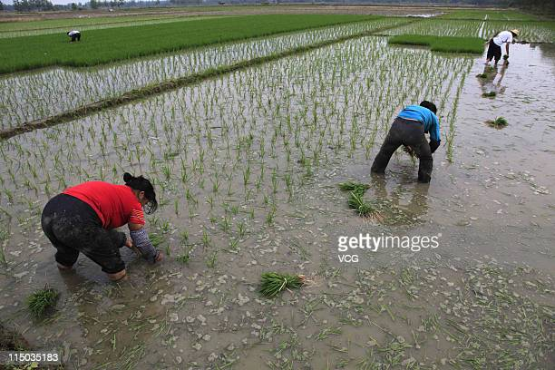 Farmers transplant rice seedlings in a field on June 1 2011 in Xiantao Hubei Province of China According to the Hubei Provincial Meteorological...