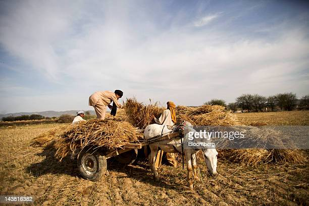 Farmers use a cart to haul a load of wheat during a harvest in the village of Fatehganj in Punjab province Pakistan on Thursday May 3 2012 Pakistan...