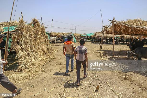 Farmers walk through a cattle shelter in Beed district Maharashtra India on Friday April 15 2016 Hundreds of millions of people in India are...
