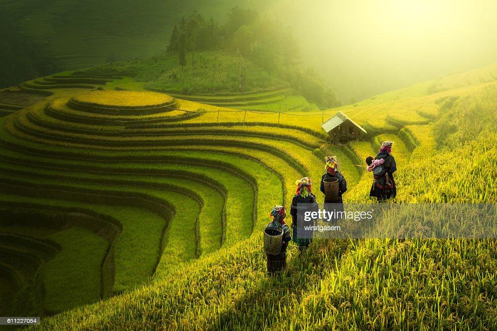 Farmers walking on rice fields terraced : Stock-Foto