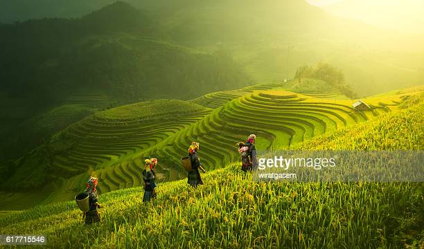 farmers walking on rice fields terraced - vietnam stockfoto's en -beelden