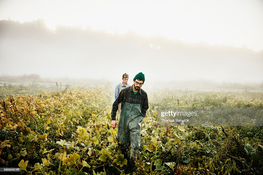 Farmers walking through field of organic squash : Stock Photo