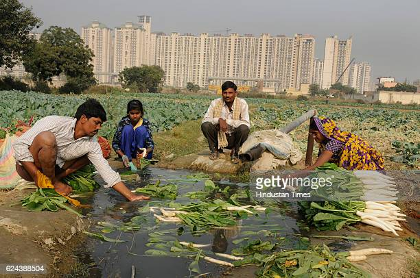 Farmers washing radishes after harvesting on November 19 2016 in Noida India Farmers report a steep fall in vegetable wholesale prices since the...