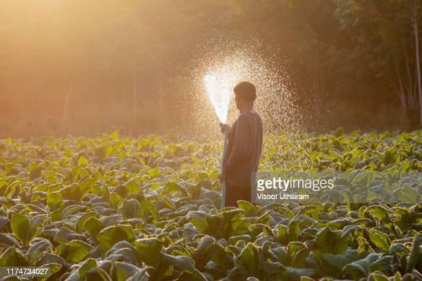 farmers watering tobacco in a converted tobacco. - tabakwaren stock-fotos und bilder