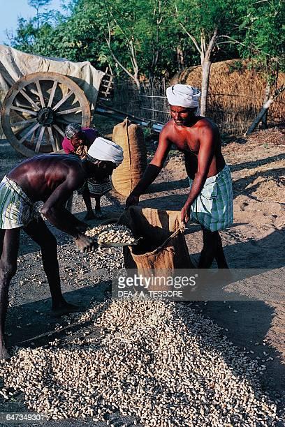 Farmers wearing a turban while harvesting of peanuts Tamil Nadu India