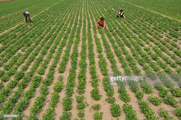 Farmers weed a peanut field on June 4 2013 in Liaocheng China Chinese farmers were in busy farming season in recent days as wheat harvest started...