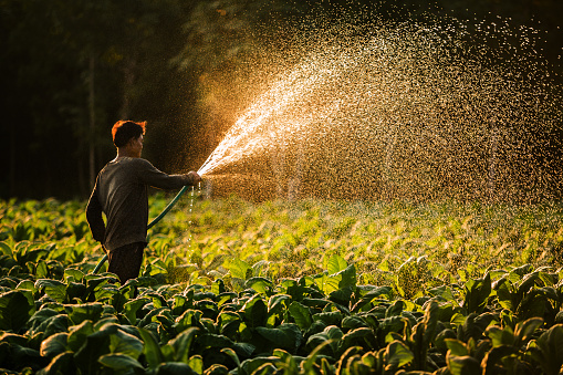 Farmers were growing tobacco in a converted tobacco growing in the country, thailand. - gettyimageskorea