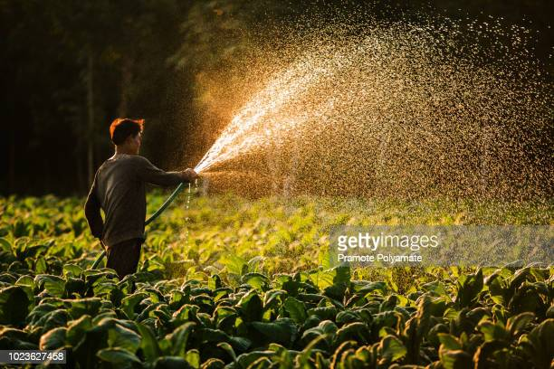farmers were growing tobacco in a converted tobacco growing in the country, thailand. - organic farm stock pictures, royalty-free photos & images
