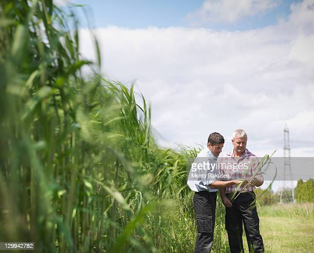 Farmers with biomass fuel 'Miscanthus' for burning in power station