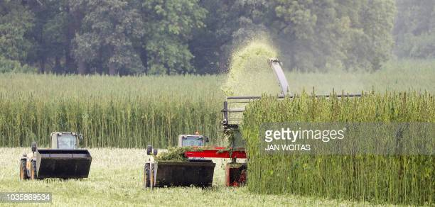 Farmers with their specially developed harvesting machines crop a cannabis field in Naundorf eastern Germany on September 19 2018 The Mariplant...