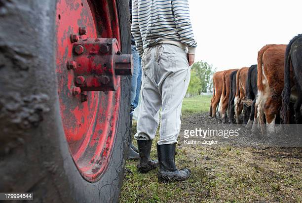 farmers with tractor watching herd of cows