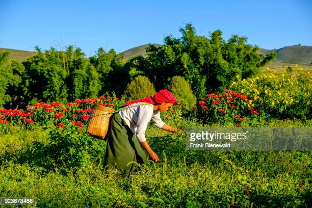 A farmers woman is harvesting greenery in the hills of the tribal area in the traditional way