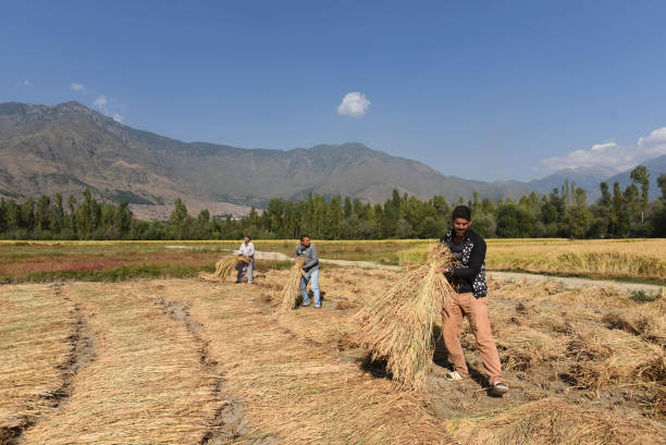 IND: Farmers Harvesting The Paddy Crops In Srinagar
