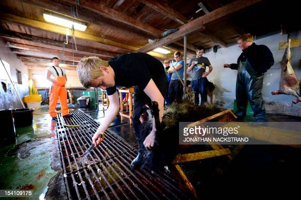 Farmers work at a privet slaughterhouse at the village of Velbastaour on October 13 2012 at the Streymoy Island in the Faroe IslandsThe Faroe Islands...