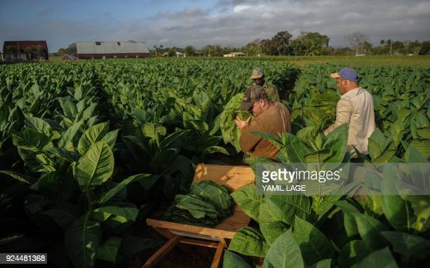 Farmers work at a tobacco plantation in San Juan y Martinez Pinar del Rio Province Cuba on February 24 2018 Cuba will hold the 20th edition of the...