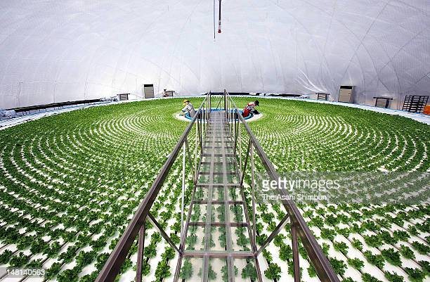 Farmers work in a domeshaped hydroponic lettuce factory in Rikuzentakata heavily damaged by tsunami and seawater triggered by March 11 earthquake...