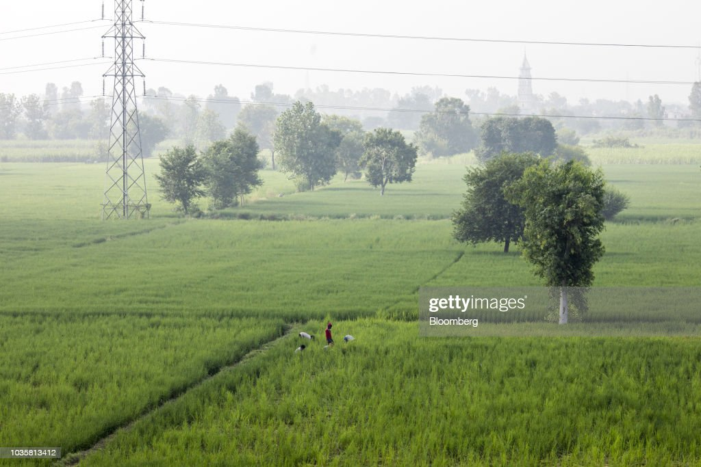 Rice Cultivation as Modi Keeps Crop-Price Increase in Check