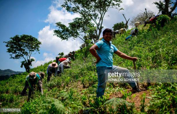 Farmers work on a coca plantation in Trinidad Pampa, Yungas, Bolivia on October 24, 2020. - Coca growers of the Yungas region of western Bolivia have...