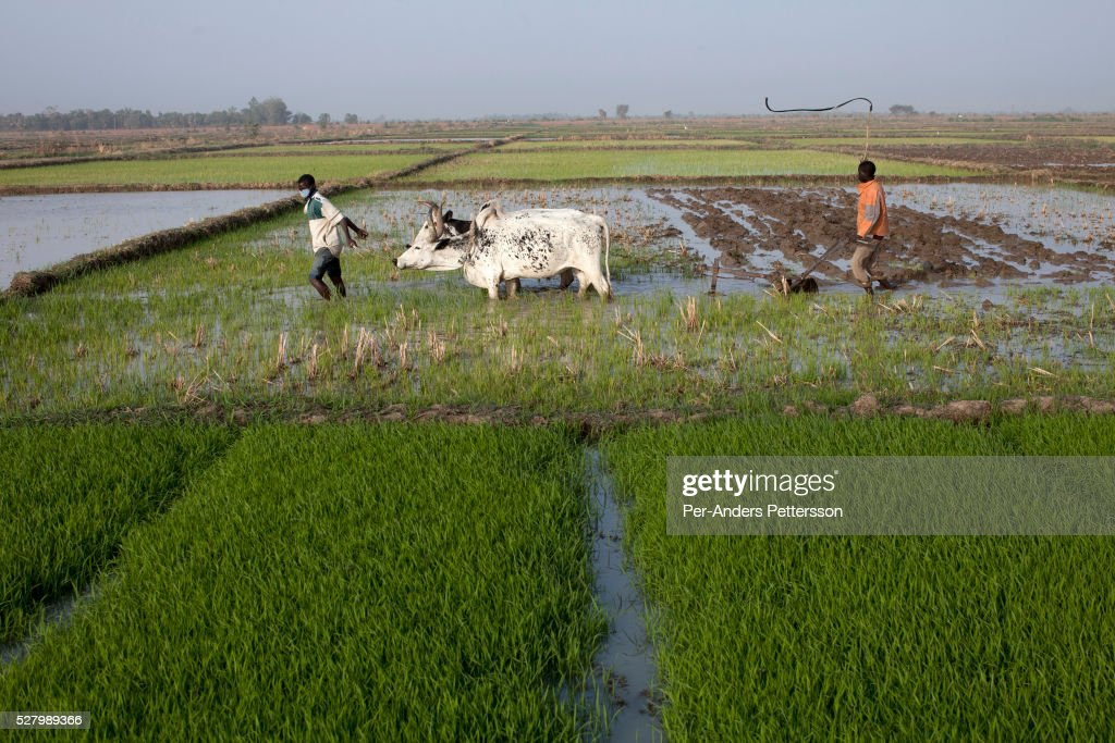 Agriculture in Mali : News Photo