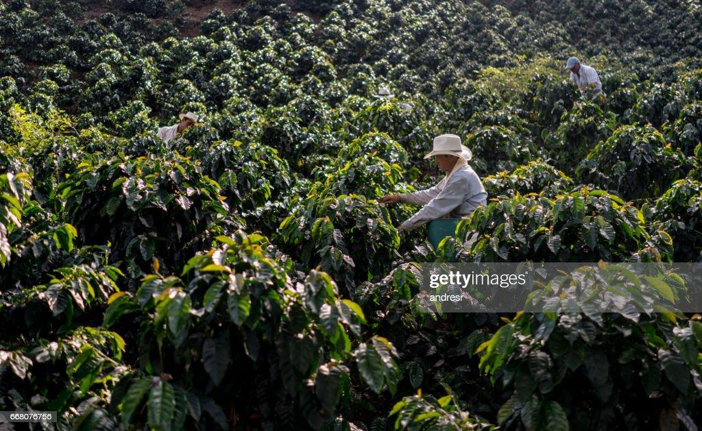Agricultores que trabajan en una granja que recoge granos de café : Foto de stock