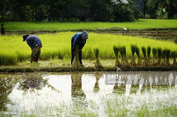 Farmers working in a rice field, Siem Reap, Cambodia