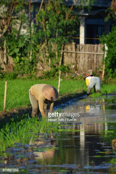 farmers working on agricultural field - surakarta stock photos and pictures