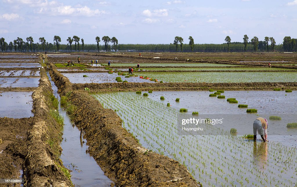 Farmers working planting rice in the paddy field : Stock Photo