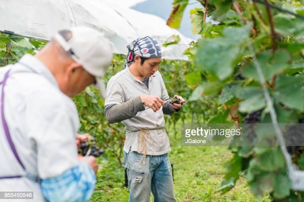 ブドウを収穫する協力農家