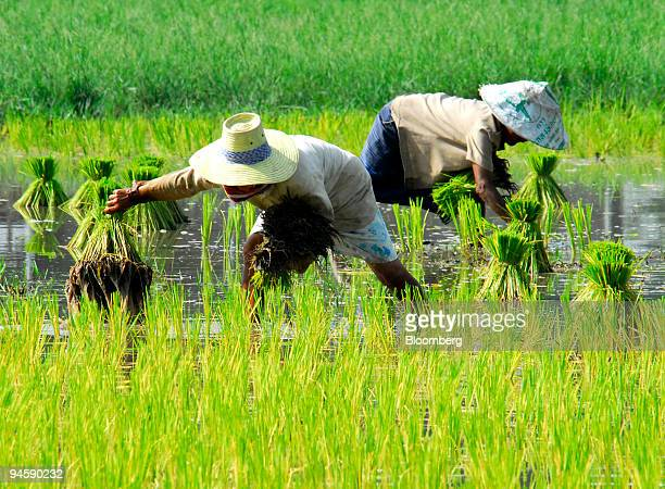 Farmers works in a rice paddy near Ratchaburi some 110 km west of Bangkok Thailand on Monday September 11 2006
