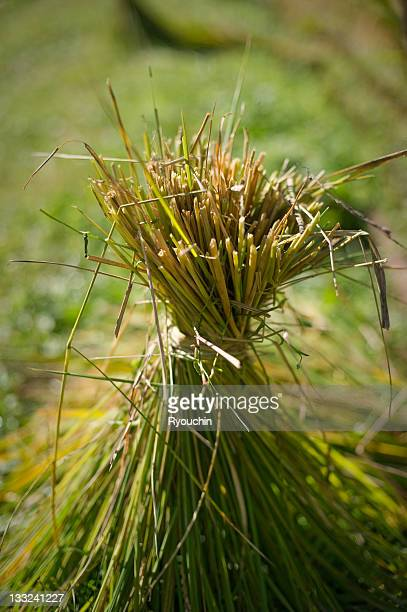 farmer,tied straw - 麦わら ストックフォトと画像