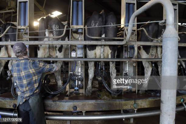 A farmhand places cups on a cow's udders in the milking shed at a dairy farm in Gippsland Victoria Australia on Thursday June 4 2020 China is...