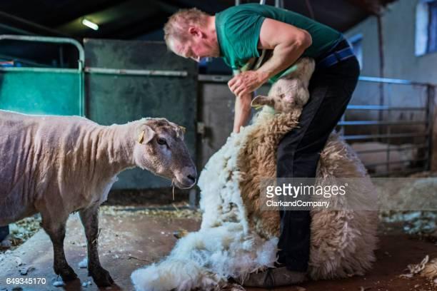 Farmhand Shearing Sheep