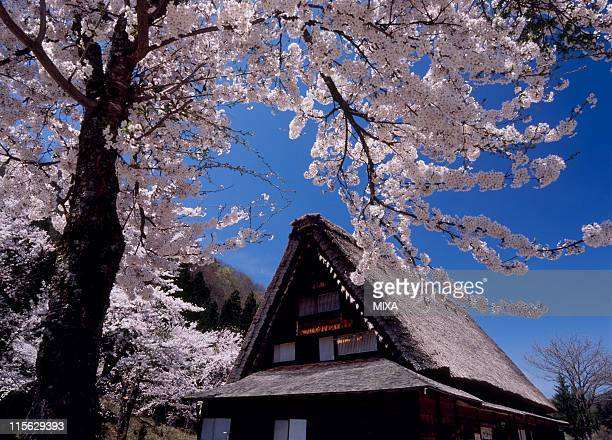farmhouse and cherry blossoms at shirakawa-go, shirakawa, ono, gifu, japan - 岐阜県 ストックフォトと画像