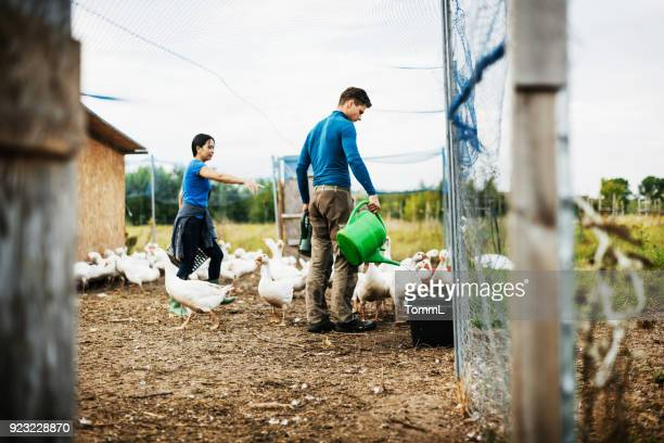 farming couple working together taking care of their geese - poultry stock photos and pictures