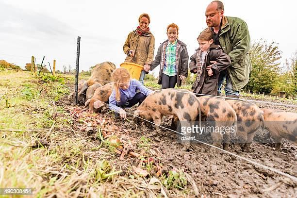 La alimentación de los cerdos, la agricultura familiar en una granja ecológica