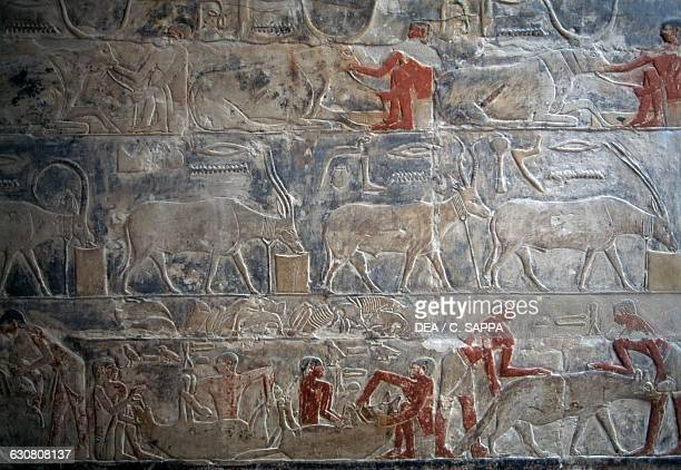 Farming of animals painted relief Mastaba of Mereruka 2340 BC Necropolis of Saqqara Memphis Egypt Egyptian civilisation Old Kingdom Dynasty VI