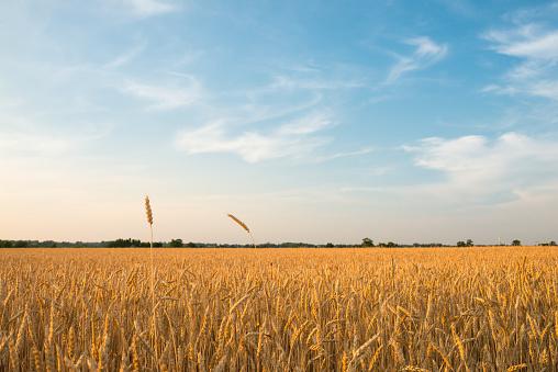 Farmland in Canada: Wheat field in sunset 1004368492