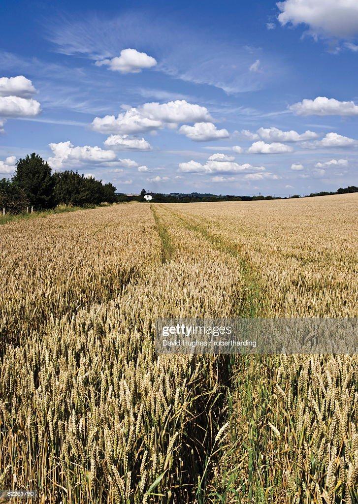 Farmland of cornfield ripening, England, United Kingdom, Europe : Stock Photo