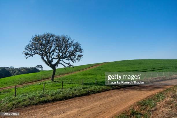 farmland & solitary tree in fraiburgo - ハンドロアンサス属 ストックフォトと画像