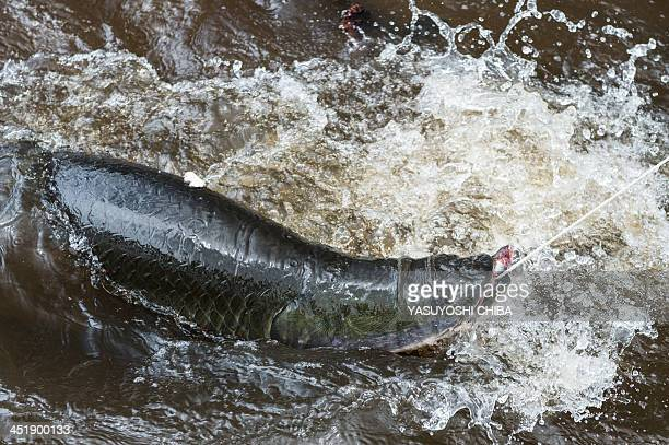 A farmraised Pirarucu one of the biggest fish in the fresh water is presented for tourists in the Negro river in Manaus state of Amazonas Brazil on...