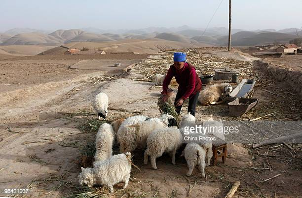 A farmwife feeds sheep in her yard on March 12 2010 in Xihaigu Tongxin County of Ningxia Hui Autonomous Region north China Xihaigu is the general...