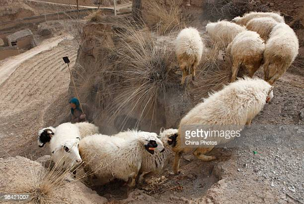 A farmwife herds sheep on March 14 2010 in Xihaigu Tongxin County of Ningxia Hui Autonomous Region north China Xihaigu is the general name for the...