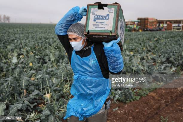 Farmworker carries a box of broccoli in a field on January 22, 2021 in Calexico, California. President Joe Biden has unveiled an immigration reform...