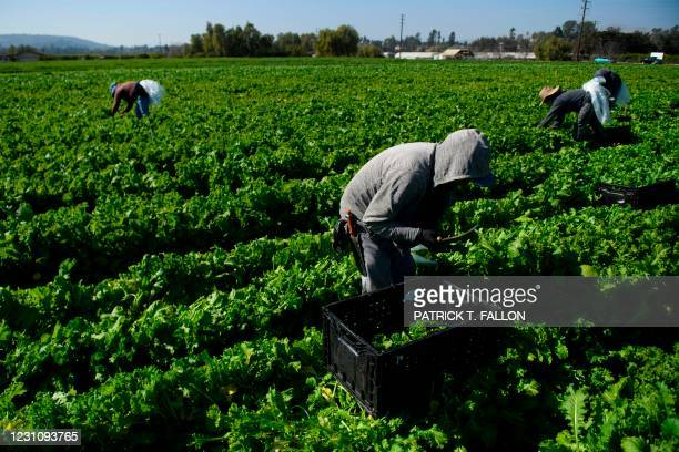Farmworker harvests curly mustard in a field on February 10, 2021 in Ventura County, California. - The United Farm Workers union is urging state and...