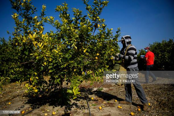Farmworker harvests lemons at an orchard as Roman Pinal of the United Farm Workers distributes face masks to farmworkers on February 10, 2021 in...