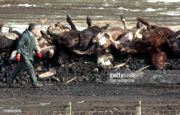 Farmworker inspects carcasses lying a bed of coal and straw to be incinerated in the fields of Netherside farm in Lockerbie some 120 km south of...