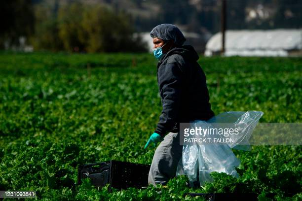 Farmworker wears a face mask while harvesting curly mustard in a field on February 10, 2021 in Ventura County, California. - The United Farm Workers...