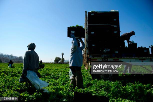 Farmworkers wear face masks as they carry boxes of harvested curly mustard in a field on February 10, 2021 in Ventura County, California. - The...