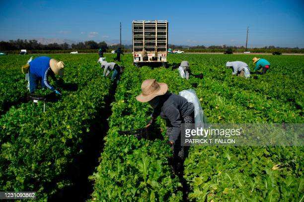 Farmworkers wear face masks while harvesting curly mustard in a field on February 10, 2021 in Ventura County, California. - The United Farm Workers...